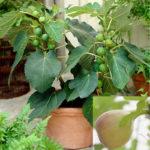Cung cấp cây giống – Giống Sung Mỹ quả to, ngọt siêu năng suất