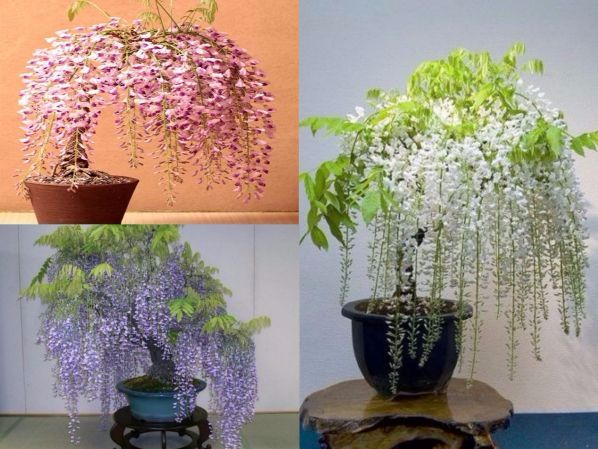Giống hoa Tử đằng nhiệt đới, là loại hoa trang trí phổ biến số 1 tại Châu Á